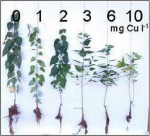 Effets de la concentration de Cuivre sur la plante