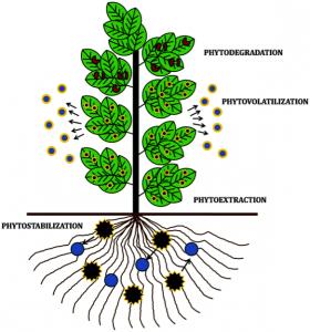 Figure 2 : Les différents types de phytoremédiation