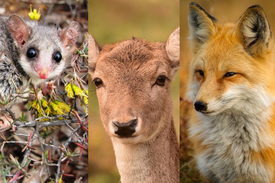 À gauche : l'opossum pygmée, au centre : le chevreuil, à droite : le renard roux